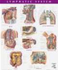 Frank Netter - Netter Anatomy Chart Lymphatic System