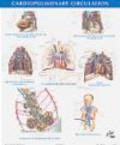 Frank Netter - Netter Anatomy Chart Cardiopulmonary Circulation